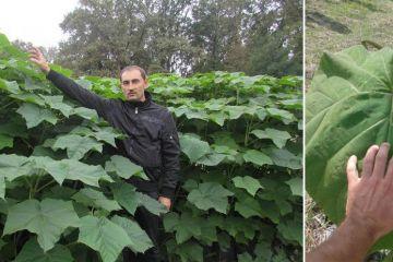 VEČERNJE NOVOSTI: Bijeljinac uzgaja paulovniju