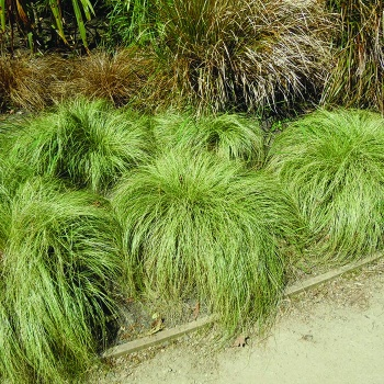 carex_green
