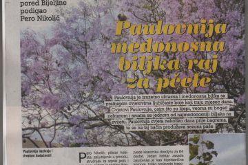 PČELAR: Paulovnija medonosna biljka raj za pčela