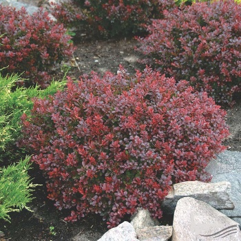 berberis_bagatelle