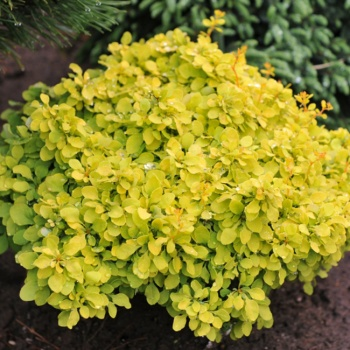 berberis_tiny_gold