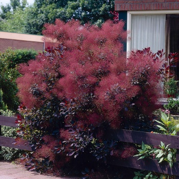 cotinus_royal_purple