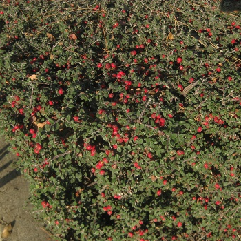 cotoneaster_microphyllus