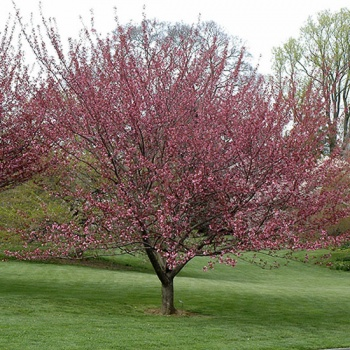prunus_serrulata_royal_burgundy