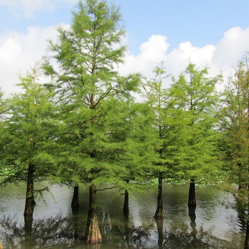 taxodium_distichum