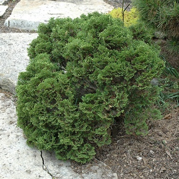 thuja_occidentalis_ericoides1