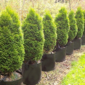 thuja_occidentalis_holmstrup1