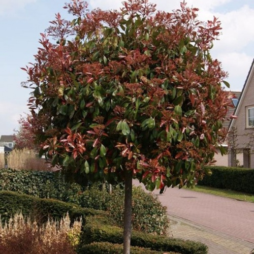 photinia_fraseri_red_robin