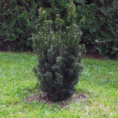 taxus_baccata_common_yew1