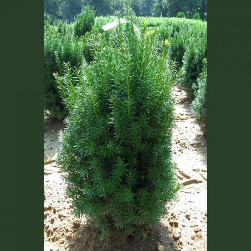 taxus_baccata_common_yew2